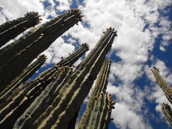 Cactus Reaching for the Sky